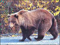 Denali Grizzly Bear