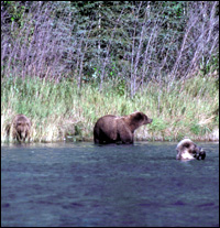 Grizzly Bear on the Chulitna River Denali State Park