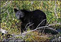 Black Bear at Bear Glacier